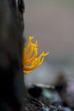 D4_0196F kleverig koraalzwammetje (Calocera viscosa, Yellow Stagshor).jpg