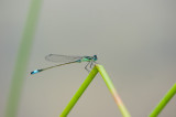 700_1153F lantaarntje (Ischnura elegans, Blue-tailed Damselfly).jpg