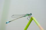 700_1161F lantaarntje (Ischnura elegans, Blue-tailed Damselfly).jpg