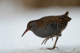 Waterral (Rallus aquaticus, Water rail)