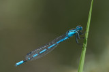 D4_0388F watersnuffel (Enallagma cyathigerum, Common blue damselfly).jpg