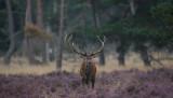 D4_8889F edelhert (Cervus elaphus, Red deer).jpg