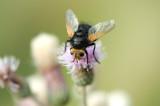 D4_4590F stekelsluipvlieg (Tachina grossa, Tachinid fly).jpg