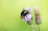 D4_4622F stekelsluipvlieg (Tachina grossa, Tachinid fly).jpg