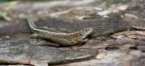 D4_5866F zandhagedis (Lacerta agilis, Sand lizard).jpg