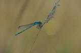 D4_7842F watersnuffel (Enallagma cyathigerum, Common blue damselfly).jpg