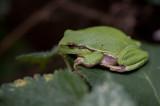 D40_0040F boomkikker (Hyla arborea, European Treefrog).jpg