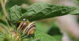 700_6226F gewone tuinslak (Cepaea nemoralis, grove snail or brown-lipped snail).jpg