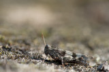 D40_7824F blauwvleugelsprinkhaan (Oedipoda caerulescent, Blue-winged Grasshopper).jpg