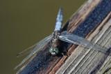 DSC_7984F gewone oeverlibel (Orthetrum cancellatum, Black-tailed Skimmer).jpg