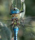 D4_0728F grote keizerlibel (Anax imperator).jpg