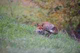 D4_2045F vos (Vulpes vulpes, Red Fox).jpg