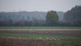 D4_2131F kraanvogel (Grus grus, Common crane).jpg