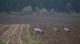 D4_2201F kraanvogel (Grus grus, Common crane).jpg
