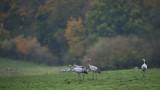 D4_2275F kraanvogel (Grus grus, Common crane).jpg