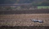 D4_2315F kraanvogel (Grus grus, Common crane).jpg