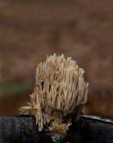D4_2980F bleke koraalzwam (Ramaria pallida).jpg