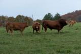 D4_3697F Limousin koeien.jpg