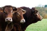 D4_3727F Limousin koeien.jpg