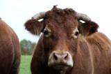 D4_3736F Limousin koe.jpg