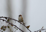 D4_6831F ringmus (Passer montanus, Eurasian Tree Sparrow).jpg