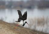 D4_6970F zwarte ooievaar (Ciconia nigra, Black Stork).jpg