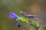 D4_6824F bramensprinkhaan (Pholidoptera griseoaptera).jpg