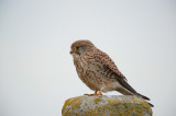 700_4405F torenvalk (Falco tinnunculus, Common Kestrel).jpg