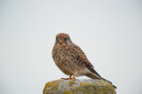 700_4407F torenvalk (Falco tinnunculus, Common Kestrel).jpg