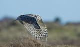 D4_1251F sneeuwuil (Bubo scandiacus, Snowy owl).jpg