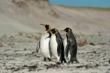 700_8840F koningspinguin (Aptenodytes patagonicus, King Penguin).jpg