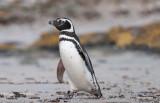 300_5924F magelhaen pinguin (Spheniscus magellanicus, Magellanic Penguin).jpg
