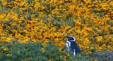 300_6037F magelhaen pinguin (Spheniscus magellanicus, Magellanic Penguin).jpg