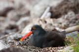 300_6484F zwarte scholekster (Haematopus ater, Blackish Oystercatcher).jpg