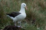 300_6919F wenkbrauwalbatros (Thalassarche melanophris, Black-browed albatross).jpg