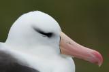 300_7027F wenkbrauwalbatros (Thalassarche melanophris, Black-browed albatross).jpg