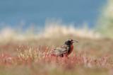 300_6755F grote weidespreeuw (Sturnella loyca falklandica, Long-tailed Meadowlark).jpg