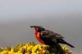 300_6784F grote weidespreeuw (Sturnella loyca falklandica, Long-tailed Meadowlark).jpg
