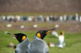 700_9289F koningspinguin (Aptenodytes patagonicus, King Penguin).jpg