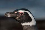 300_9804F magelhaen pinguin (Spheniscus magellanicus, Magellanic Penguin).jpg