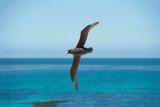 700_9268F zuidelijke reuzenstormvogel (Macronectes giganteus, Southern Giant Petrel).jpg