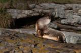 300_7251F Patagonische zeeleeuw (Otaria flavescens, Southern sea lion).jpg