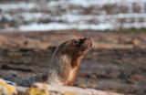 300_7267F Patagonische zeeleeuw (Otaria flavescens, Southern sea lion).jpg