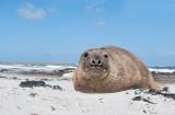 700_7568F zuidelijke zee-olifant (Mirounga leonina, Southern elephant seal).jpg