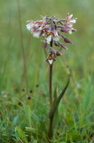 D4_3253F moeraswespenorchis (Epipactis palustris, Marsh helleborine).jpg