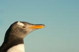 700_8700F ezelspinguin (Pygoscelis papua, Gentoo Penguin).jpg