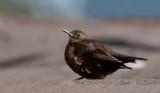 300_5766F zwarte wipstaart (Cinclodes antarcticus antarcticus, Tussac Bird).jpg
