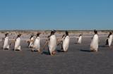 300_0155F ezelspinguin (Pygoscelis papua, Gentoo Penguin).jpg