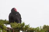 300_7367 roodkopgier (Cathartes aura jota, Turkey Vulture).jpg