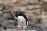300_8086F rotspinguïn (Eudyptes crestatus, Rockhopper Penguin).jpg